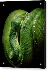 Green Tree Boa Acrylic Print