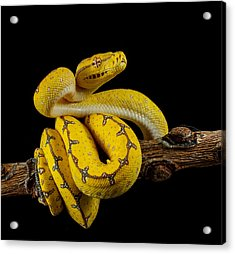 Green Tree Python Ready To Strike Acrylic Print by Johnstarkeyphotography