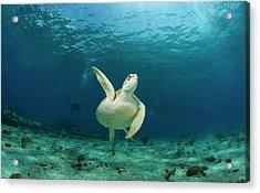 Green Turtle Chelonia Mydas Swimming Acrylic Print