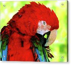 Green-winged Macaw Acrylic Print