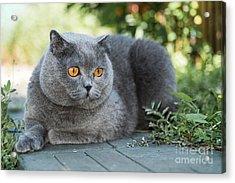 Grey British Cat Lying In The Green Acrylic Print