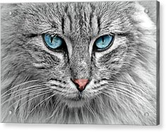 Grey Cat With Blue Eyes Acrylic Print