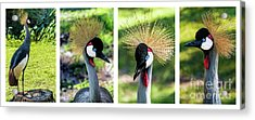 Grey Crowned Crane Gulf Shores Al Collage 1 Acrylic Print