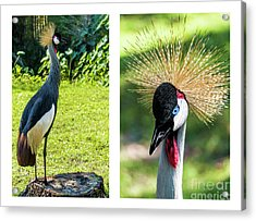 Grey Crowned Crane Gulf Shores Al Collage 8 Diptych Acrylic Print