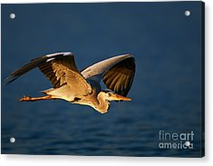 Grey Heron Ardea Cinerea Flying Low Acrylic Print