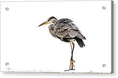 Grey Heron On Snow Acrylic Print