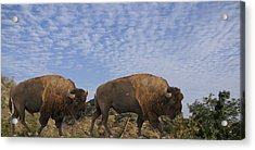 Group Of Bison Walking Against Rocky Mountains  Acrylic Print