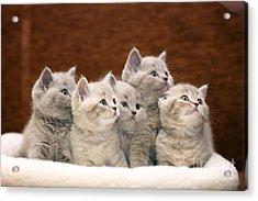Group Of Cute Gray British Kittens Acrylic Print