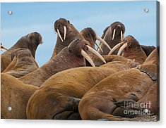 Group Of Large Walrus On The Beach In Acrylic Print