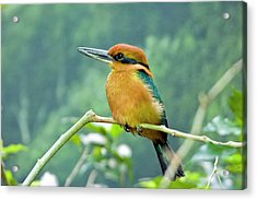 Guam Micronesian Kingfisher Acrylic Print by By Ken Ilio