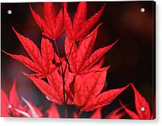 Guardsman Red Japanese Maple Leaves Acrylic Print