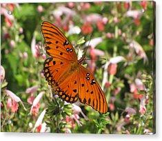 Gulf Fritillary Aka Passion Butterfly Acrylic Print
