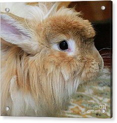 Acrylic Print featuring the photograph Hairy Rabbit by Debbie Stahre