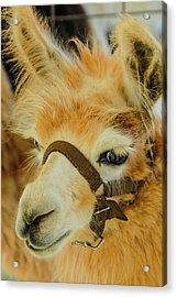 Happy Alpaca Acrylic Print
