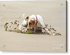 Happy Dog Stopping On The Ball High Acrylic Print by Ammit Jack