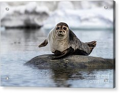 Harbour Seal On A Rock In Svalbard Acrylic Print