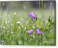 Harebells And Water Drops Acrylic Print