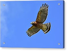 Hawk On The Go Acrylic Print