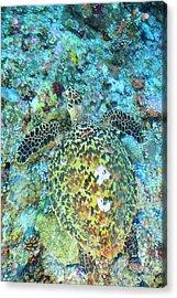 Hawksbill Sea Turtle, North Huvadhoo Acrylic Print by Stuart Westmorland