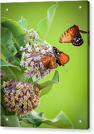Head Over Heals For Milkweed Acrylic Print