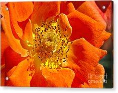 Heart Of The Orange Rose Acrylic Print