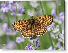 Heath Fritillary On The Lavender Acrylic Print