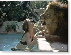 Hedren & Neil The Lion Acrylic Print by Michael Rougier
