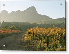 Helderburg Vineyard Acrylic Print