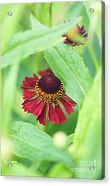 Acrylic Print featuring the photograph Helenium Ruby Tuesday Flower by Tim Gainey