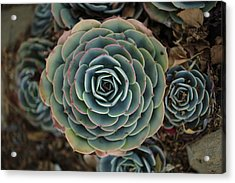 Hen And Chicks Succulent Acrylic Print