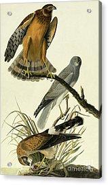 Hen Harrier, Circus Cyaneus By Audubon Acrylic Print