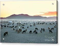 Herd Of Goats In The Sunset At Acrylic Print