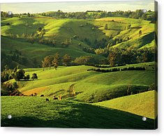 Hereford Beef Cattle Grazing At Arawata Acrylic Print