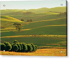 Herefords Grazing On Rolling Hills Near Acrylic Print