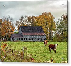 Herefords In Fall Acrylic Print