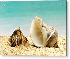 Hermit Crab Looking At Larger Shell Acrylic Print by Jeffrey Hamilton