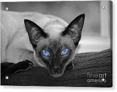 Hey There Blue Eyes - Siamese Cat Acrylic Print