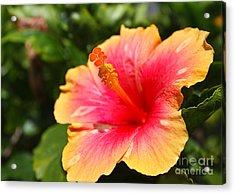 Hibiscus Flower Pollen Acrylic Print