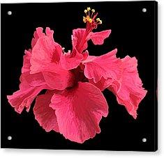 Hibiscus Pink In Black Acrylic Print
