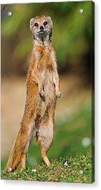 High Mongoose Acrylic Print