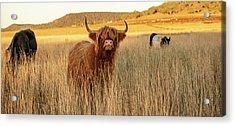 Highland Cows On The Farm Acrylic Print