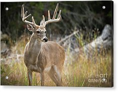 Hill Country Whitetail Acrylic Print