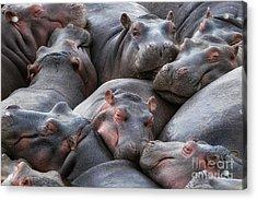 Hippo Pod Resting In The Mara River Acrylic Print