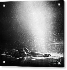 Hippopotamus Blowing Air Through Acrylic Print