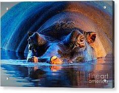 Hippopotamus Hippopotamus Amphibius At Acrylic Print