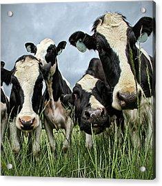 Holstein Cows Acrylic Print