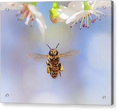 Honeybee Suspended On Air Acrylic Print