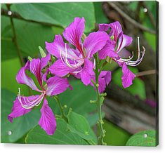 Acrylic Print featuring the photograph Hong Kong Orchid Tree Dthn0262 by Gerry Gantt