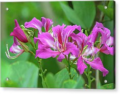 Acrylic Print featuring the photograph Hong Kong Orchid Tree Dthn0263 by Gerry Gantt