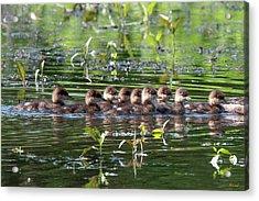 Hooded Merganser Ducklings Dwf0203 Acrylic Print